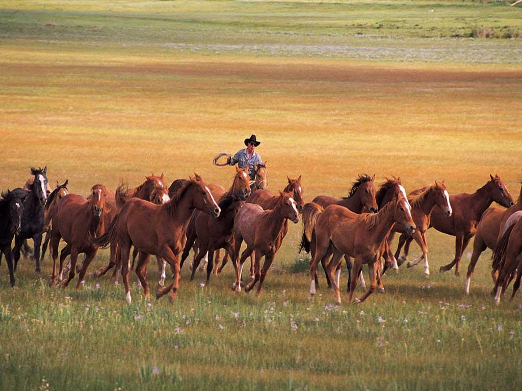 Большой табун лошадей